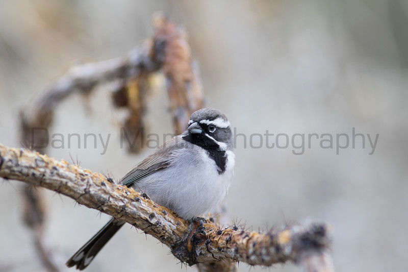 Black-throated Sparrow on cholla<br /> Pima County, Arizona