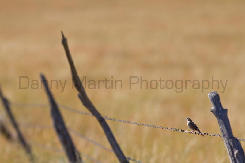 Vesper Sparrow on barbed wire,<br /> El Paso County, Colorado.