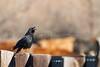 American Crow (calling)<br /> Larimer County, Colorado