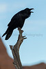 Common Raven<br /> Grand County, Utah