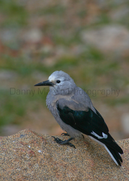 Clark's Nutcracker<br /> Rocky Mountain National Park, Colorado