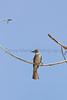 Ash-throated Flycatcher<br /> Comanche National Grassland, Otero County, Colorado.