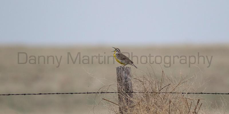 Meadowlark singing<br /> Larimer County, Colorado