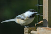 Chickadee, perched on bird feeder.  Near Lyons, Colorado.