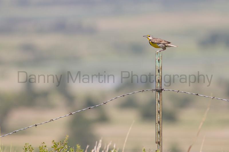 Meadowlark<br /> Russell County, Kansas.