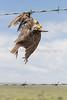 Western Meadowlark dead on barbed wire fence<br /> Weld County, Colorado