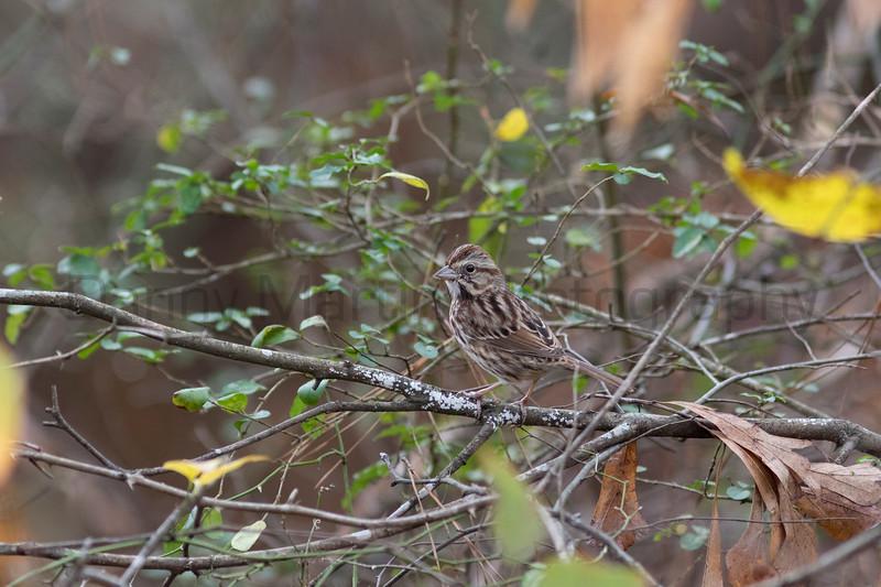 Song Sparrow<br /> Forsyth County, Georgia