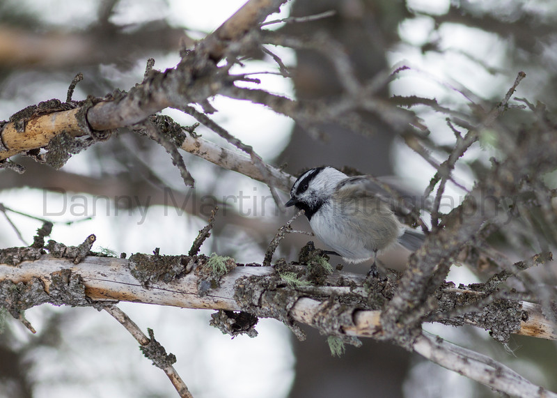 Mountain Chickadee foraging<br /> Summit County, Colorado
