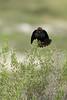 Brown-headed Cowbird (male, breeding display)<br /> Jackson County, Colorado.