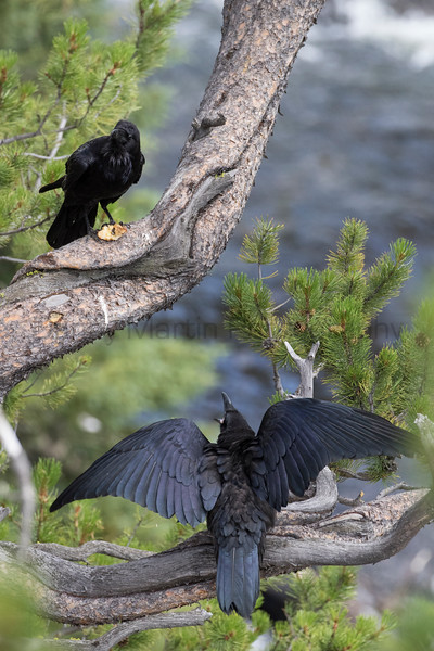 Common Ravens, juvenile begging for food from adult<br /> Park County, Wyoming