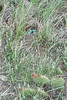 Lark Bunting eggs in nest<br /> Weld County, Colorado