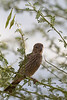 House Finch (female) perched in palo verde<br /> Pima County, Arizona