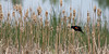 Red-winged Blackbird in cattails.  <br /> Boulder County, Colorado.