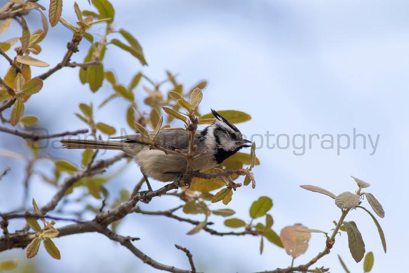 Bridled Titmouse (foraging)<br /> Santa Cruz County, Arizona