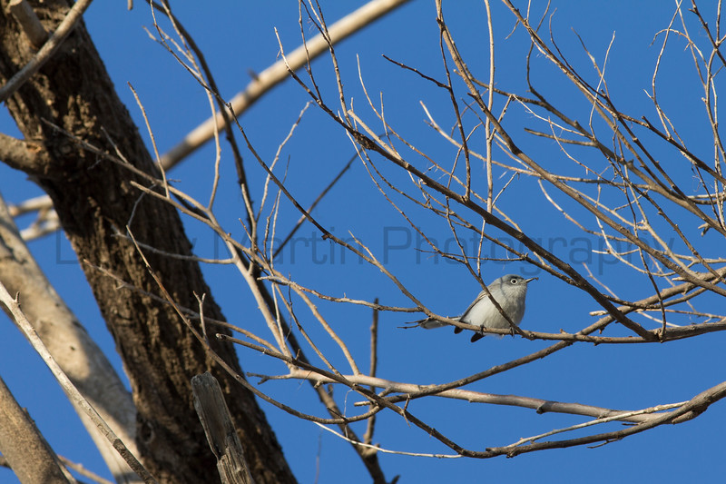 Blue-gray Gnatcatcher with insect prey<br /> Rita Blanca National Grassland, Dallam County, Texas