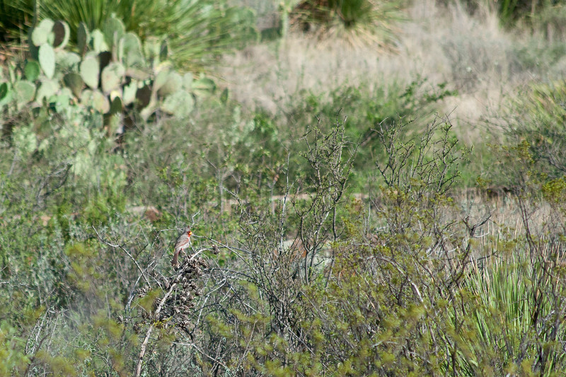 Pyrrhuloxia<br /> Brewster County, Texas.