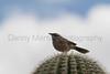 Cactus Wren<br /> Pima County, Arizona