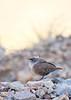 Canyon Wren (juvenile) <br /> Brewster County, Texas.