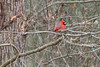 Northern Cardinal (male)<br /> Forsyth County, Georgia.