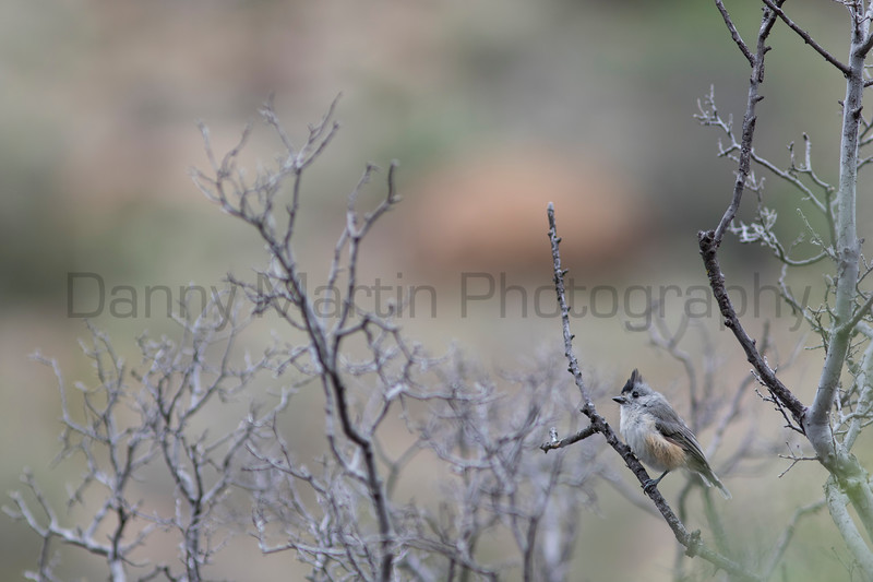 Black-crested Titmouse<br /> Brewster County, Texas