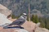 Gray Jay<br /> Rocky Mountain National Park, Colorado