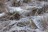 Western Meadowlark<br /> Larimer County, Colorado