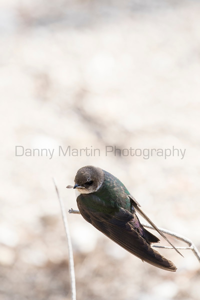 Violet-green Swallow (female)<br /> Park County, Wyoming