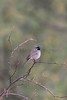 Black-throated Sparrow<br /> Pima County, Arizona