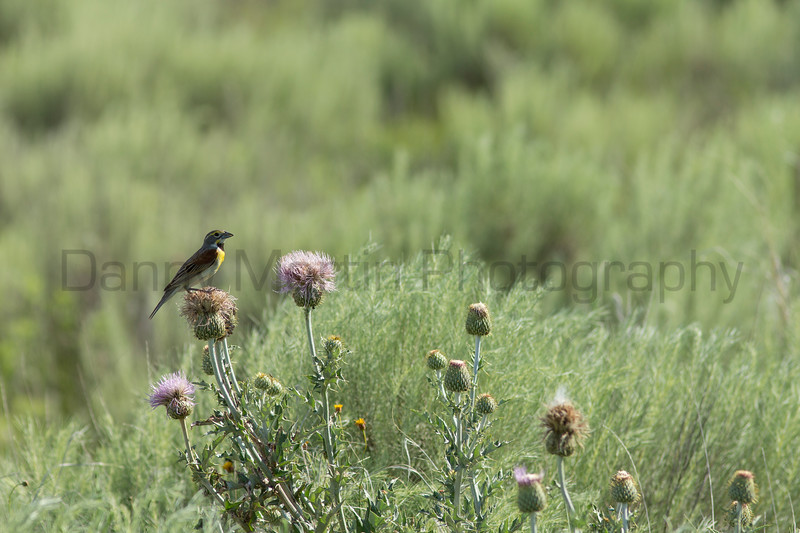 Dickcissel male perched on thistle<br /> Logan County, Kansas