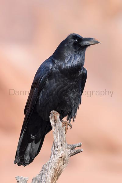 Common Raven, Grand County, Utah.