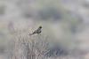 Phainopepla (female, perched in rain)<br /> Pima County, Arizona