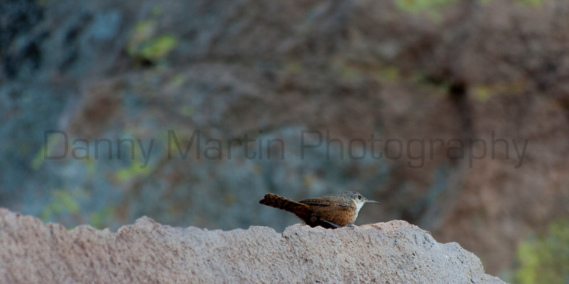 Canyon Wren<br /> Brewster County, Texas