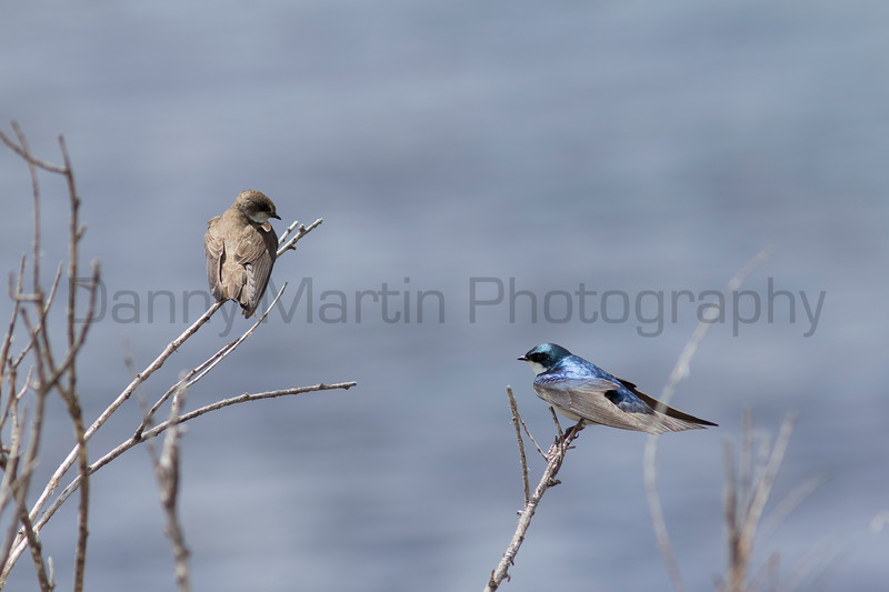 Northern Rough-winged Swallow (left) and Tree Swallow (right)<br /> Jackson County, Colorado.