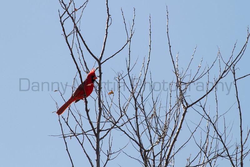 Northern Cardinal<br /> Morgan County, Colorado