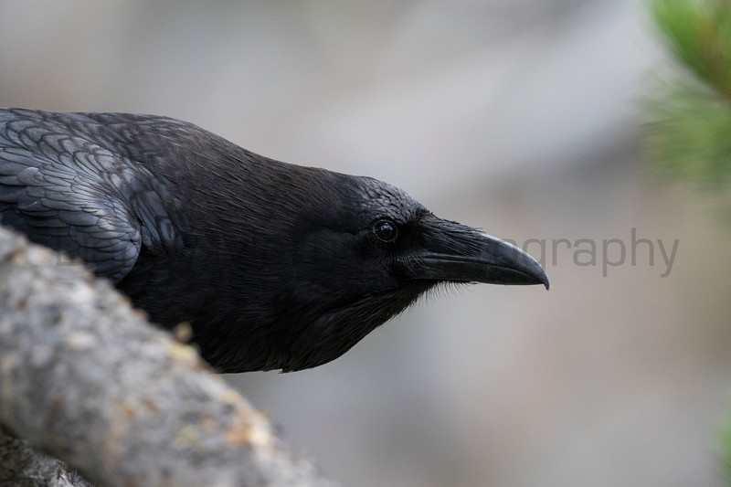 Common Raven<br /> Park County, Wyoming