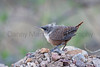 Canyon Wren (juvenile) <br /> Brewster County, Texas.