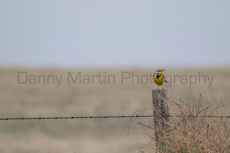 Meadowlark<br /> Larimer County, Colorado
