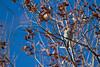 American Tree Sparrow<br /> Larimer County, Colorado