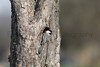 Black-capped Chickadee at nest cavity<br /> Larimer County, Colorado