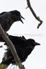 Common Ravens (juvenile and adult)<br /> Park County, Wyoming