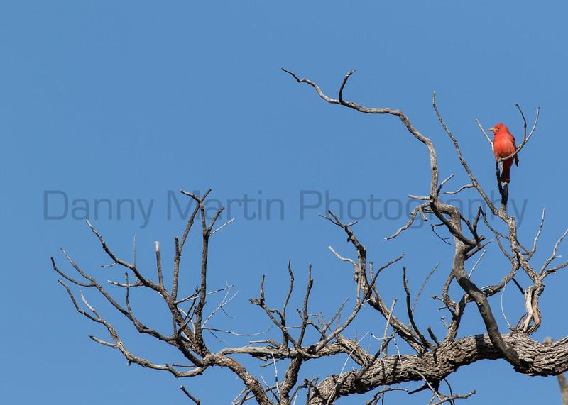 Summer Tanager (male)<br /> Pima County, Arizona
