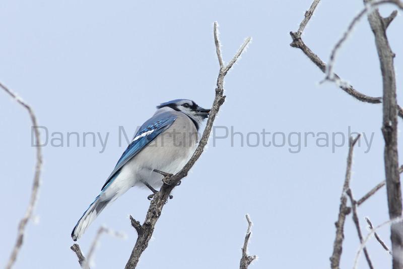 Blue Jay<br /> Larimer County, Colorado