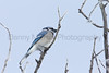 Blue Jay<br /> Larimer County, Colorado