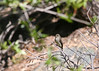 flycatcher (Empidonax sp.)<br /> Great Sand Dunes National Park, Saguache County, Colorado.