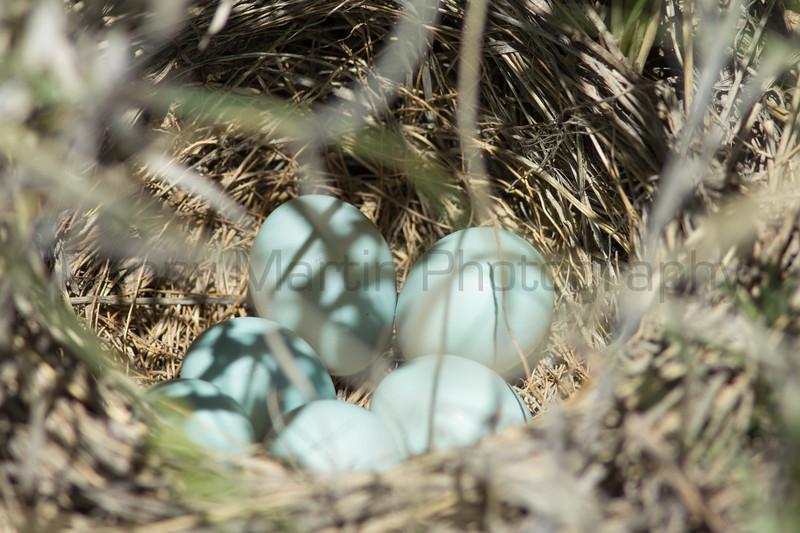Lark Bunting eggs in nest<br /> Otero County, Colorado