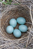 Lark Bunting eggs in nest<br /> Weld County, Colorado