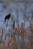 Red-winged Blackbird (male calling)<br /> Pineridge Natural Area, Fort Collins, Colorado