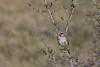 Lark Sparrow.<br /> Devil's Backbone Open Space, Larimer County, Colorado.