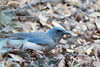 Mexican Jay foraging<br /> Cochise County, Arizona