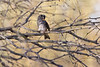 White-crowned Sparrow preening<br /> Pima County, Arizona
